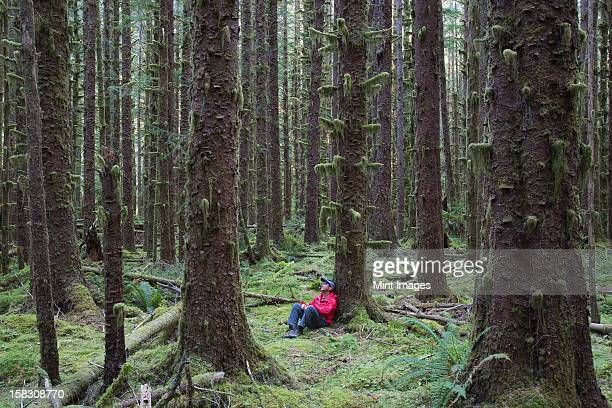 man sitting among moss-covered hemlock and spruce trees in lush temperate rainforest of the hoh forest in washington, usa - hemlock tree stock pictures, royalty-free photos & images