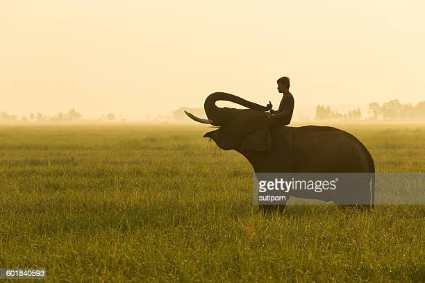 Man sitting on an elephant in a field, Surin province, Thailand