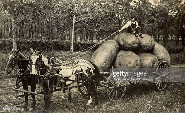 Man sitting on harvest of giant potatoes in wagon