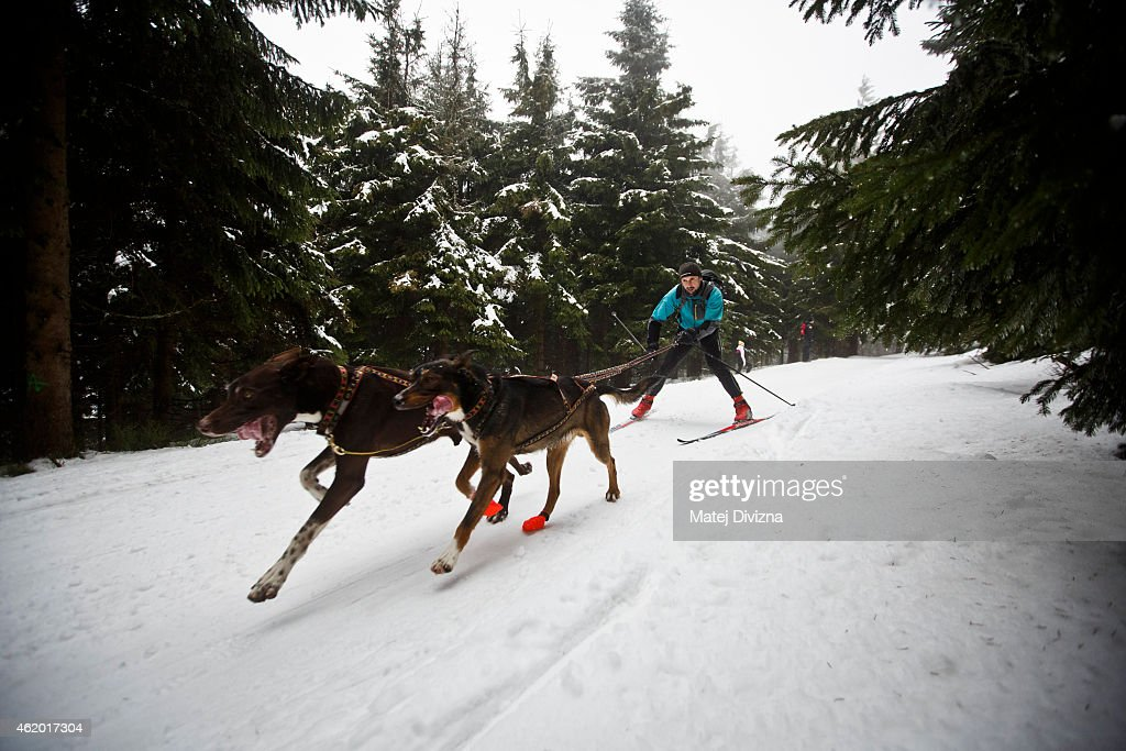 A man skis behind his dogs during The Sedivackuv Long 2015 dog sled race in the Orlicke mountains on January 23, 2015 near the village of Destne v Orlickych horach near the Czech-Polish border. The four-day Sedivackuv Long with 88 mushers with 500 dogs is the longest dog sled race in the Czech Republic and one of the hardest races of its kind in Europe.