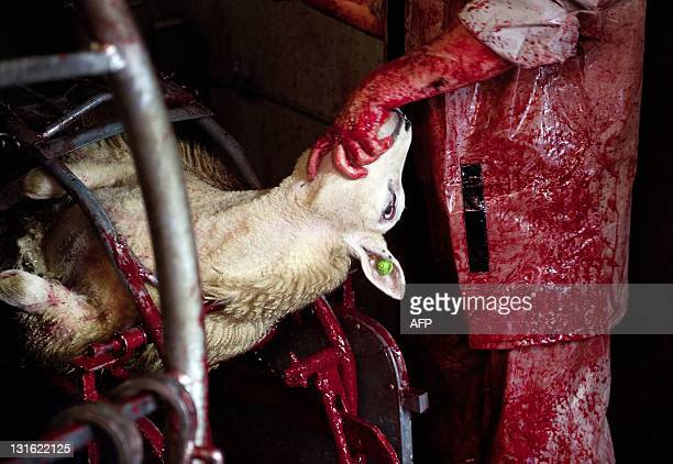 A man slaughters a sheep at an Islamic slaughterhouse in Oudeschoot during the Eid alAdha feast on November 5 2011 Eid alAdha is a threeday Muslim...