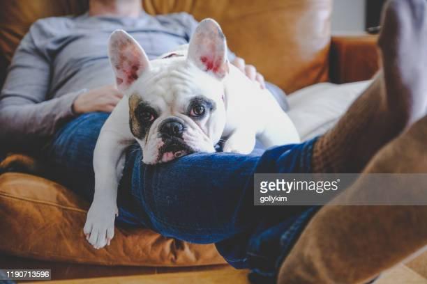 homem que dorme no sofá junto com seu bulldog francês que descansa em seu regaço - buldogue francês - fotografias e filmes do acervo