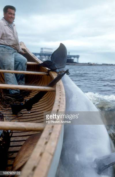 A man smiles after catching a whale as he drags it back to shore circa July 1954 in Churchill Manitoba Canada
