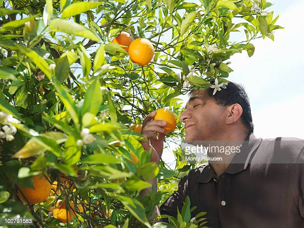 Man sniffing orange from tree