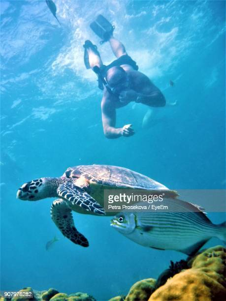 Man Snorkeling By Turtle And Fish In Sea