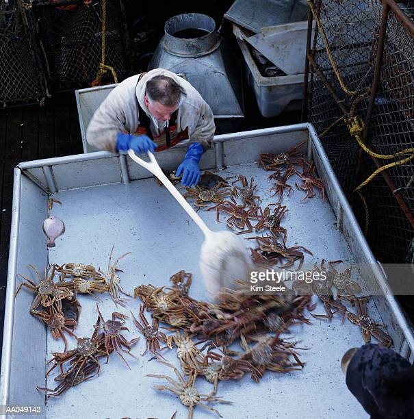 man sorting opilio crabs (chionoecetes opilio), on boat, elevated view - chionoecetes opilio stock photos and pictures