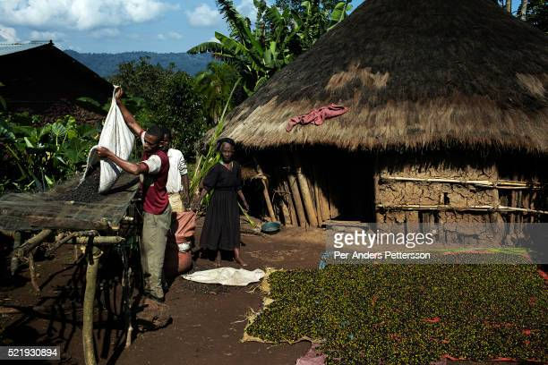 Man sorts coffee beans outside the family house in a traditional village on December 5, 2012 outside Bonga, Ethiopia. The Kaffa region is known for...
