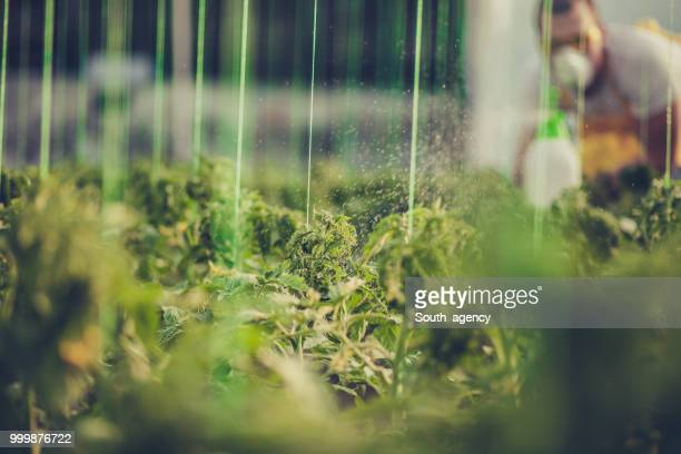 Man spraying plants in greenhouse