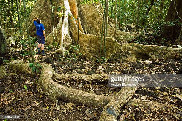 man standing by roots of giant dipterocarp tree. - dipterocarp tree stock pictures, royalty-free photos & images