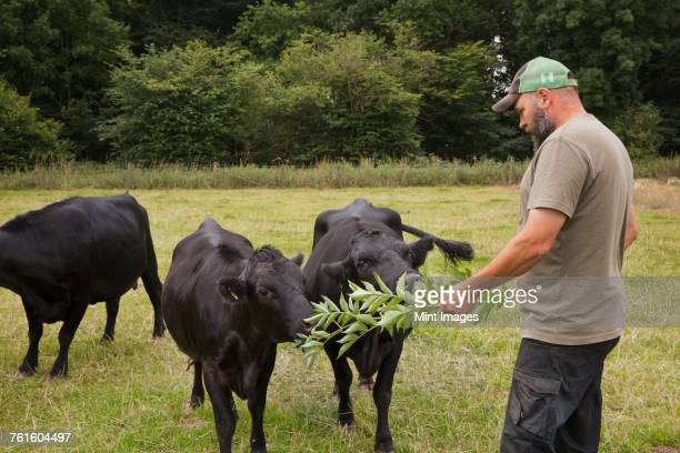 man standing in a pasture, feeding three dexter cattle calves with fresh branches and leaves. - animal welfare stock photos and pictures