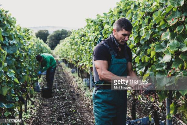 man standing in a vineyard, harvesting bunches of black grapes. - picking stock pictures, royalty-free photos & images
