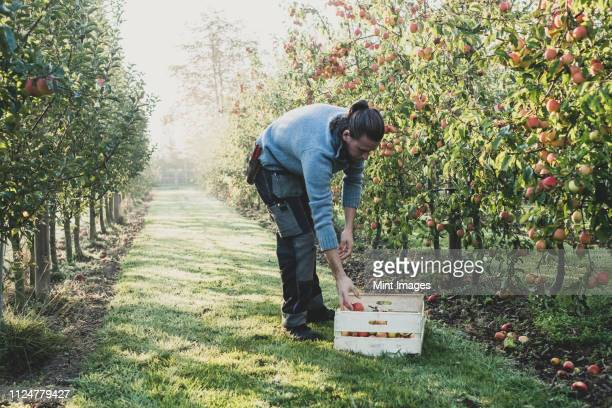 man standing in apple orchard, picking apples from tree. apple harvest in autumn. - 果樹園 ストックフォトと画像