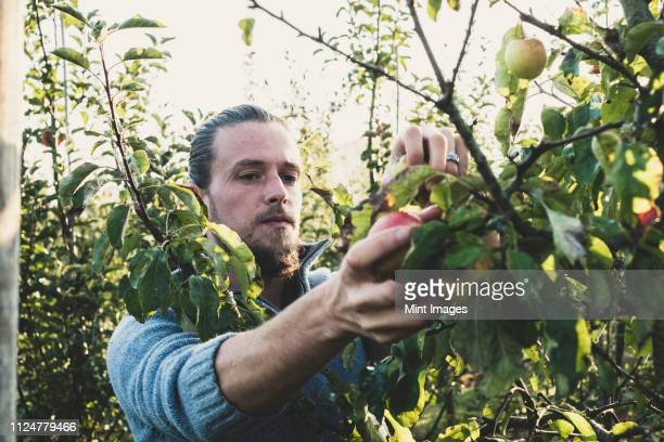man standing in apple orchard, picking apples from tree. apple harvest in autumn. - orchard stock pictures, royalty-free photos & images