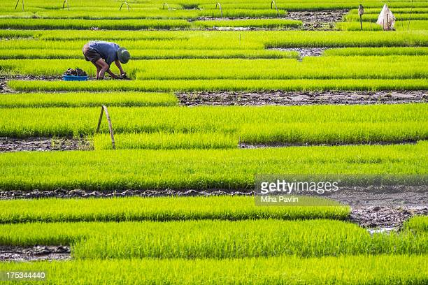 Man standing in green field , collecting rice seedlings to be planted on nearby paddy fields in spring, Tam Coc / Ninh Bình