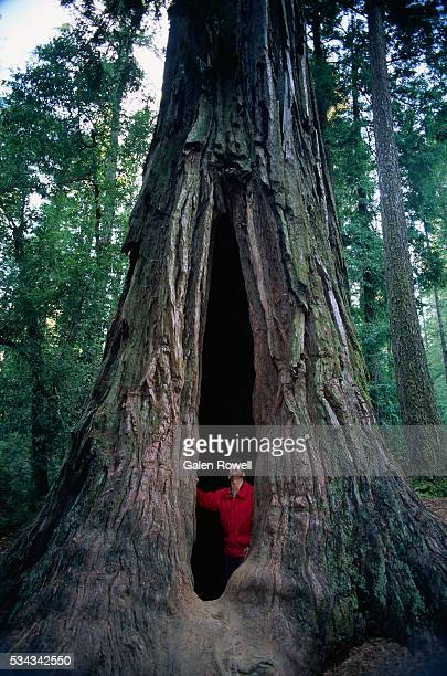 man standing in hollow redwood - big basin redwoods state park stock pictures, royalty-free photos & images