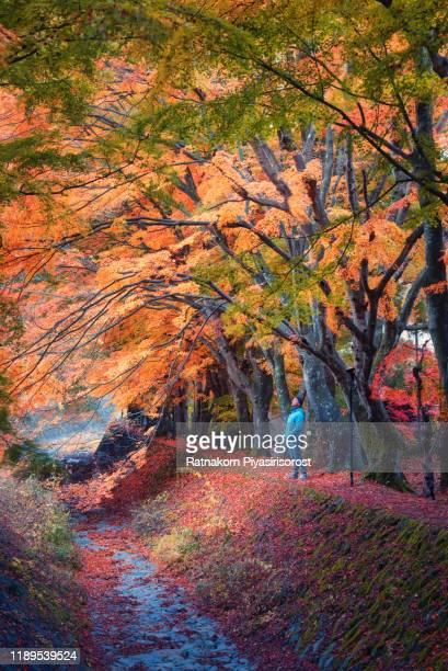 man standing in tunnel of red leaf in autumn of japan, near kawaguchiko lake - bicolore colore foto e immagini stock