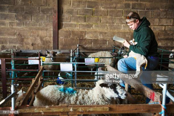Man standing next to a sheep pen in a stable, holding and bottle feeding a newborn lamb.