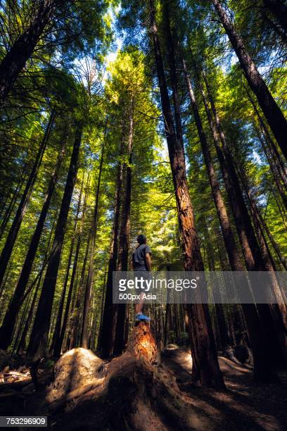 man standing on fallen tree against tall forest trees, new zealand - image stock pictures, royalty-free photos & images