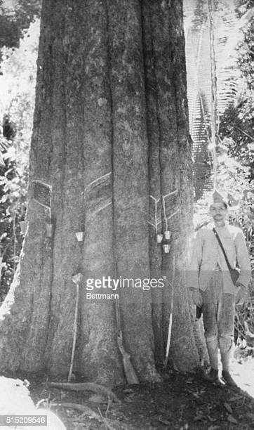 A man stands alongside a rubber tree which has small cups attached to it to catch the oozing sap This is the old and tedious way of rubber production