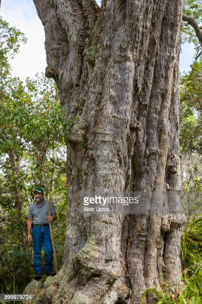 Man stands by world's largest koa tree in South Kona Forest Preserve, Hawaii