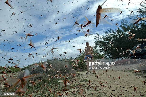 A man stands in a large cloud of locusts 29 November 2004 around Corralejo in the north of the island of Fuerteventura in Spain's Canary Islands...