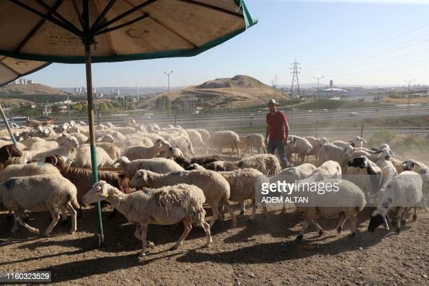A man stands in the middle of a sheep herd at a market in Ankara ahead of the annual Muslim holiday of Eid alAdha or Festival of Sacrifice on August...