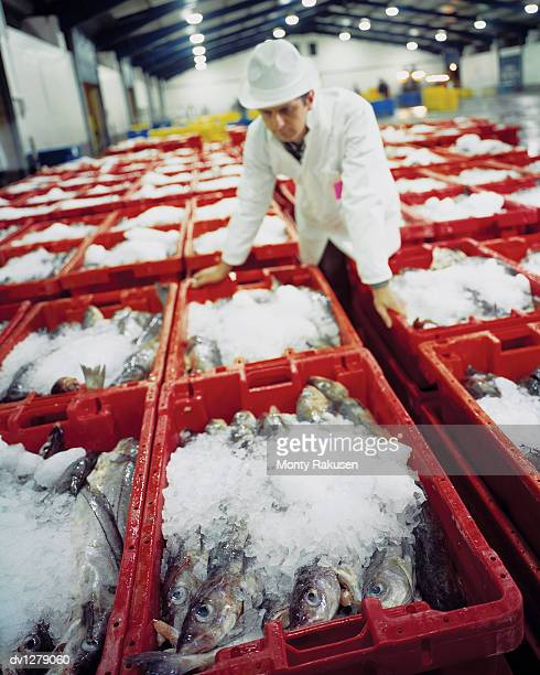 Man Stands Leaning Over Fish Crates in a Fish Market,  Grimsby, UK