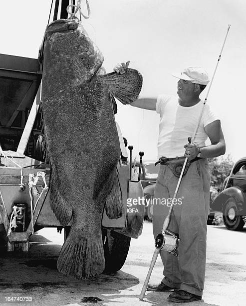 A man stands next to a 389 pound goliath grouper/Jewfish being hoisted by a truck The fish was caught on 30 pound line near Marathon Florida on May 5...
