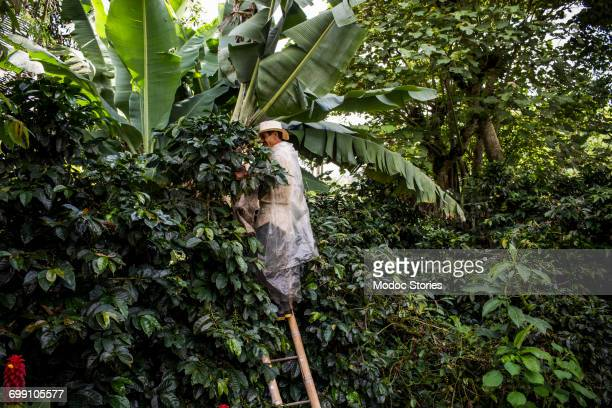 a man stands on a ladder as he reaches for coffee beans during the harvest on a rural farm in colombia. - banana tree stock pictures, royalty-free photos & images