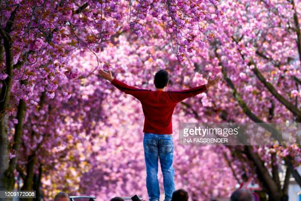 A man stands under blooming cherry trees at the Heerstrasse street in Bonn western Germany on April 5 2020 amid the spread of the novel coronavirus...