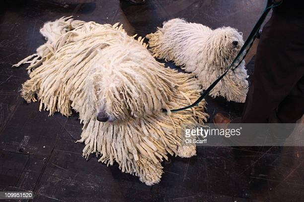 A man stands with his komondor and puli dogs on the second day of the annual Crufts dog show at the National Exhibition Centre on March 11 2011 in...