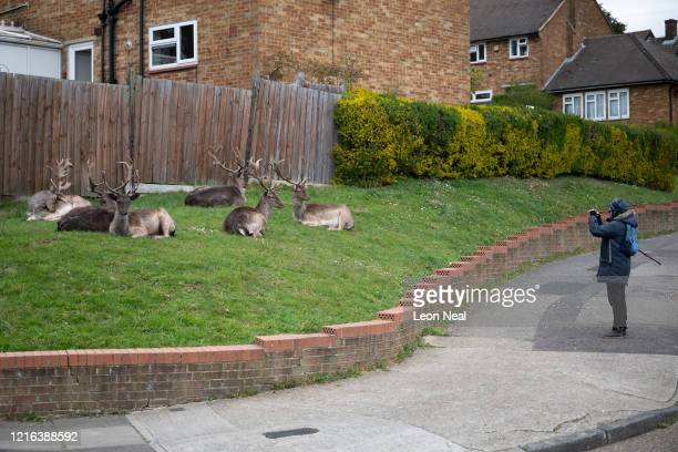 A man stops to photograph the Fallow deer from Dagnam Park as they rest and graze on the grass outside homes on a housing estate in Harold Hill near...