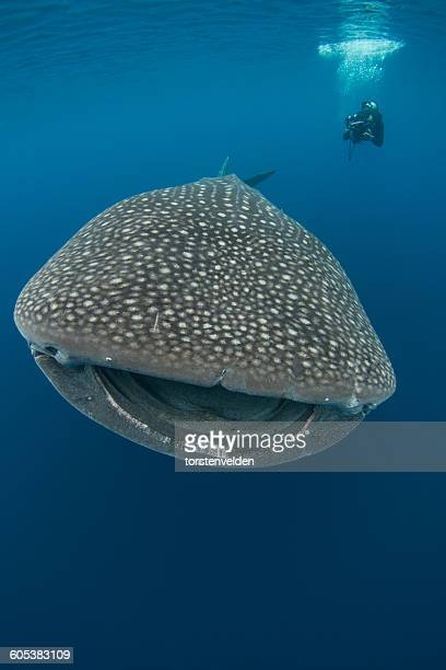 Man swimming with whale shark, Cenderawasih Bay, Papua, Indonesia