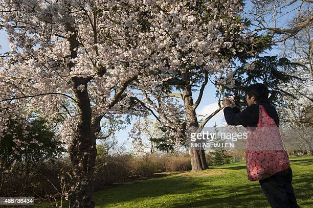 A man takes a photograph of Cheery blossom at the Royal Botanic Gardens at Kew in London on April 6 2015 as England basks in higher than expected...