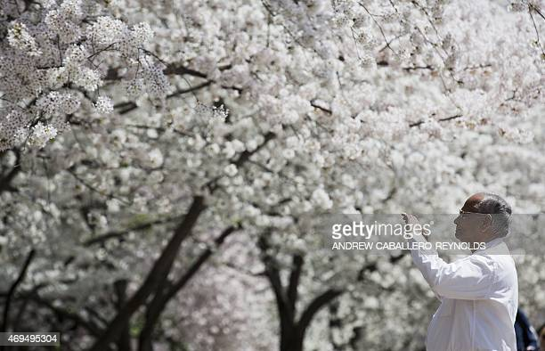 A man takes a picture of a blossoming cherry tree in Washington DC on April 12 2015 According to the National Parks Service the cherry trees are...