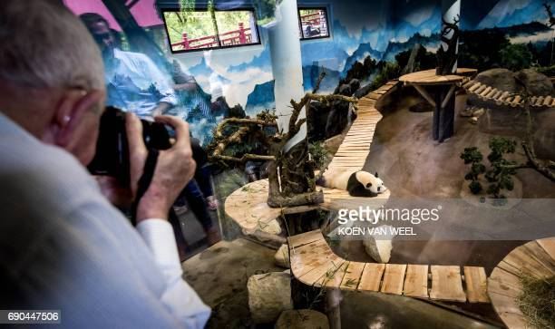 A man takes a picture of giant pandas Wu Wen and Xing Ya in their giant panda base 'Pandasia' at the Ouwehand Zoo on May 31 2017 in Rhenen iant...