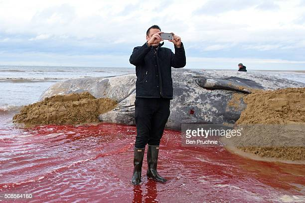 A man takes a selfie next to a dead sperm that stranded itself on a beach between Old Hunstanton and Holme on February 5 2016 in Hunstanton England...