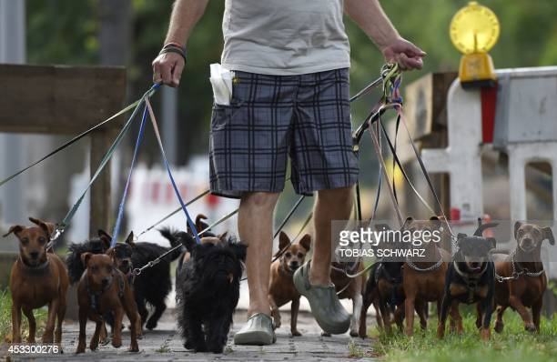 A man takes a walk with dogs in Berlin on August 7 2014 AFP PHOTO / TOBIAS SCHWARZ