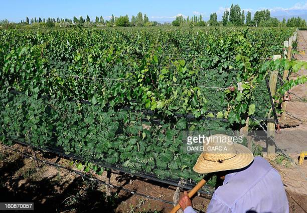 A man takes care of the vineyard at Joaquin Villanueva farm part of the Luminis winery project in the district of Perdriel Lujan de Cuyo Mendoza...