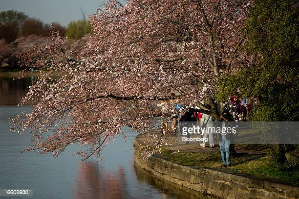 A man takes photographs of cherry trees in blossom next to the Tidal Basin in Washington DC US on Monday April 8 2013 Gifts from Japan in 1912 over...