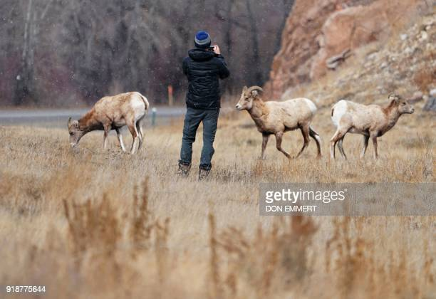 A man takes photos of Rocky Mountain bighorn sheep along highway 135 on February 15 2018 in Almont Colorado The sheep named for it's curling horns...