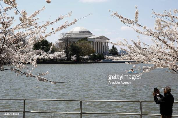 A man takes photos of the blooming cherry trees which were sent from Tokyo after it was selected as 'town twinning' in 1912 along the Tidal Basin...