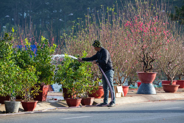 Man taking carr of kumquat and peach flower for selling in market