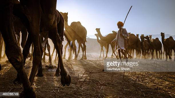 CONTENT] A man taking his flock of camels to the Pushkar fair ground in the morning