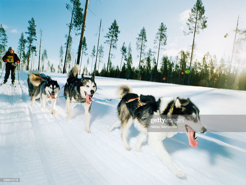 Man telemark skiing, being pulled by Malamut dogs