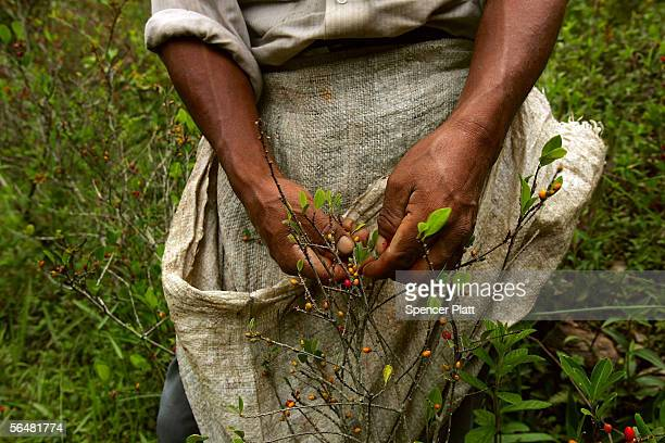 A man tends to his coca plants December 21 2005 in the town of Coroico in the Yungas Bolivia Evo Morales the newly elected Bolivian president and the...