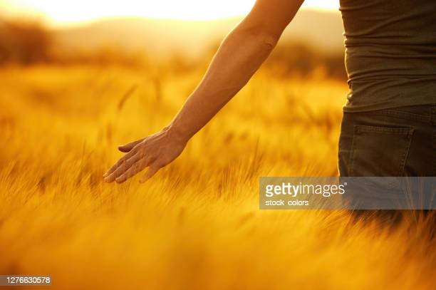 man touching wheat at golden hour - golden hour stock pictures, royalty-free photos & images