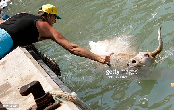 Man tows a bull back to dry ground during the traditional running of bulls at Denia's harbour on July 5, 2010. AFP PHOTO / JOSE JORDAN