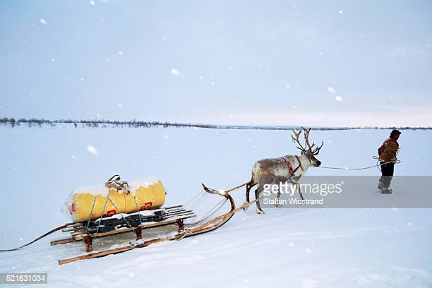 Man Training Reindeer to Pull Sled