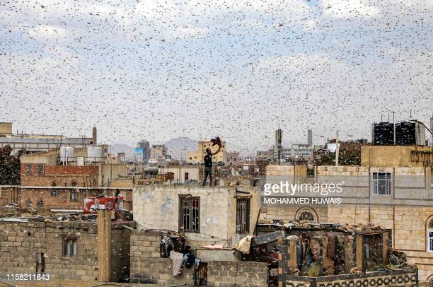 Man tries to catch locusts while standing on a rooftop as they swarm over the Huthi rebel-held Yemeni capital Sanaa on July 28, 2019.